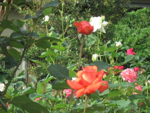 薔薇・色々.JPG