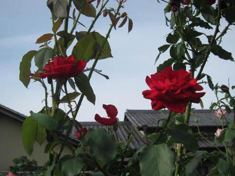 薔薇・赤.JPG