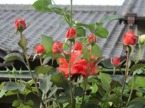 薔薇・赤1.JPG