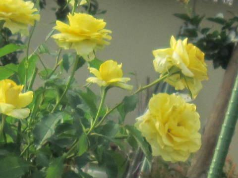 薔薇・黄.JPG