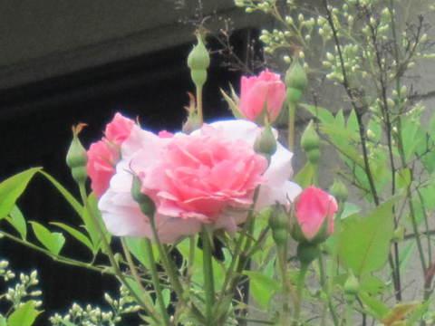 薔薇・2.JPG