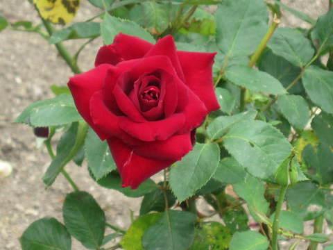 赤いバラ・1.JPG