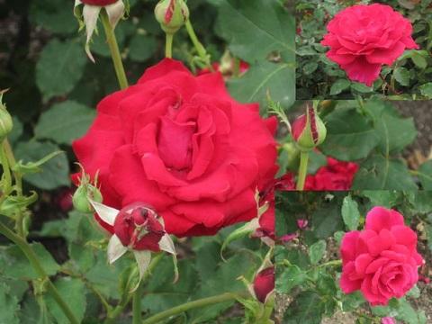赤いバラ・2.JPG