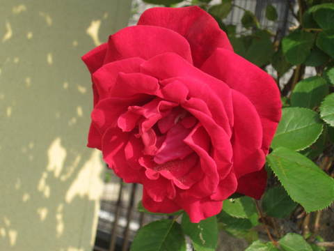 赤いバラ・3.JPG