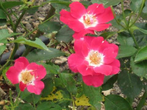 赤い一重の薔薇.JPG