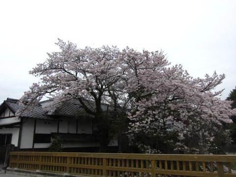 足助の桜・1.JPG
