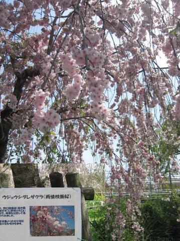 雨情枝垂れ桜・2.JPG
