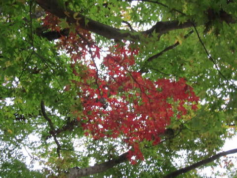 香嵐渓紅葉と緑.JPG