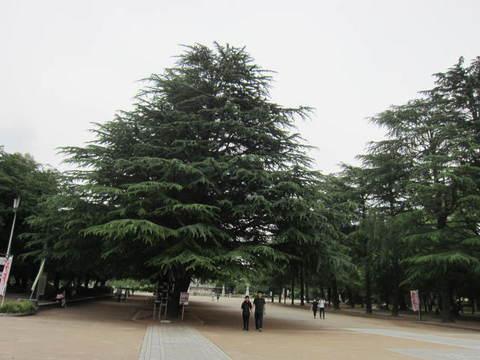 鶴舞・モミの木.JPG
