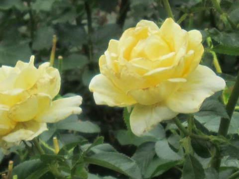 黄バラ・2.JPG