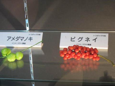 1・アメダマノキ・ピグネイ.JPG