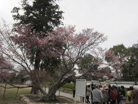 1・屋島寺可正桜.JPG