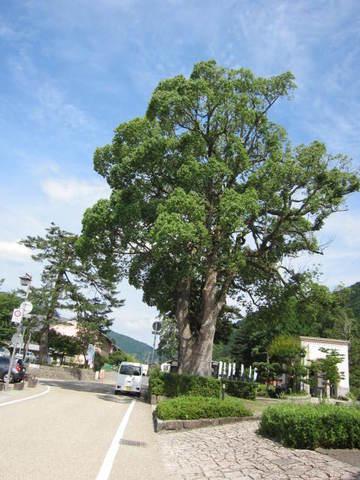 1・6出石公園大樹.JPG