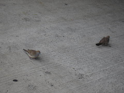 1・JALハワイホノルル空港鳥1.JPG
