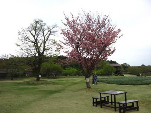2・八重桜.JPG
