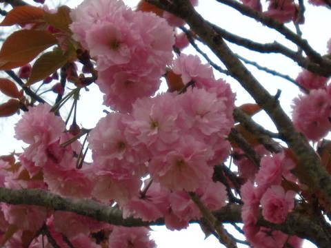 2・八重桜1.JPG