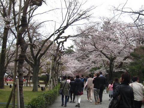 2・国・二条城桜4.JPG