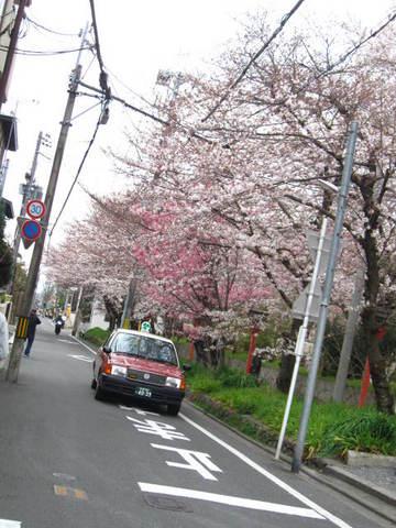 2・平野神社沿道サクラ.JPG