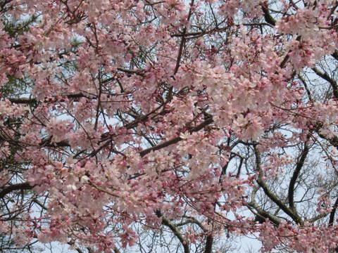 2・栗林公園桜4.JPG
