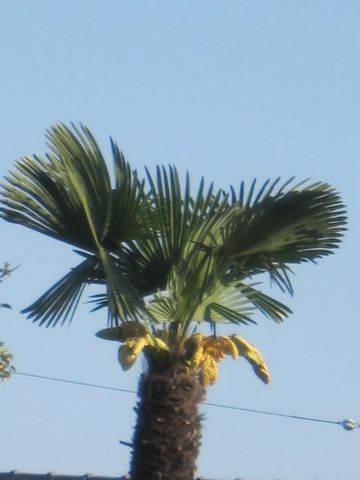 2・棕櫚.JPG
