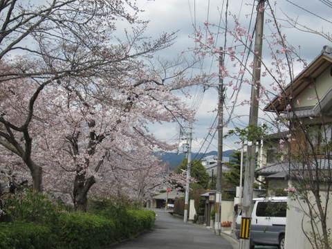 2・疏水の桜2.JPG