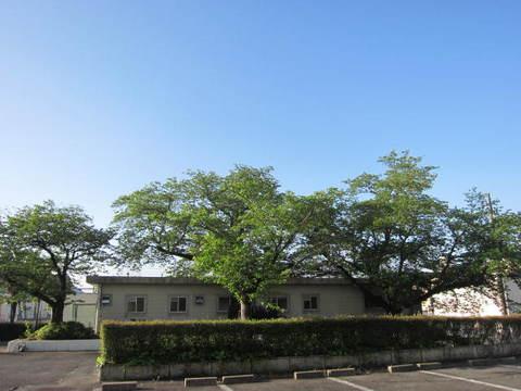 2・葉桜.JPG