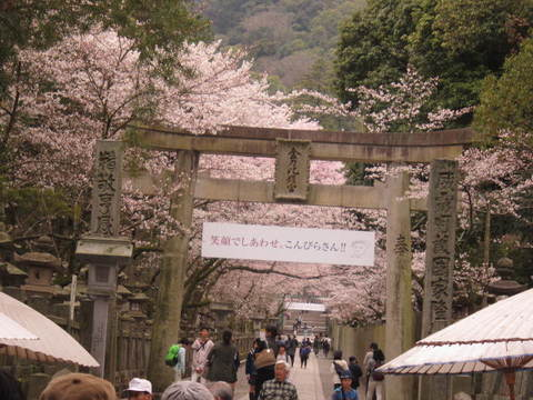 2・金毘羅桜と鳥居1.JPG