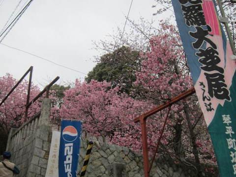 2・金毘羅桜1.JPG