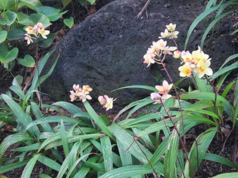 3・モーニングランの花.JPG