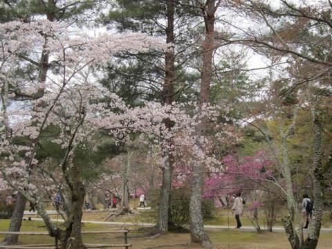 3・仁和寺桜とツツジ.JPG