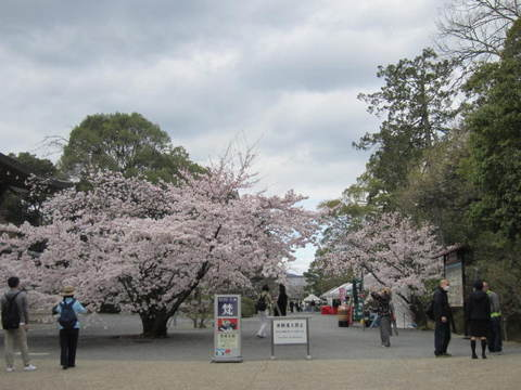 3・仁和寺桜1.JPG