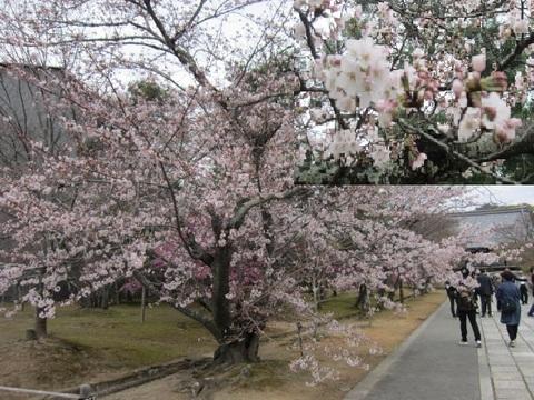 3・仁和寺桜7.JPG