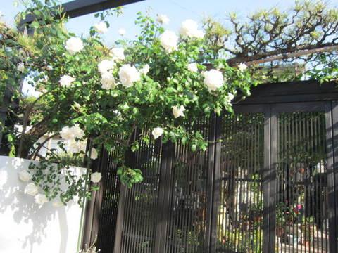 3・k中庭白バラ.JPG