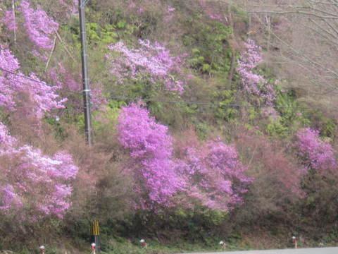 4・嵐山ツツジ1.JPG