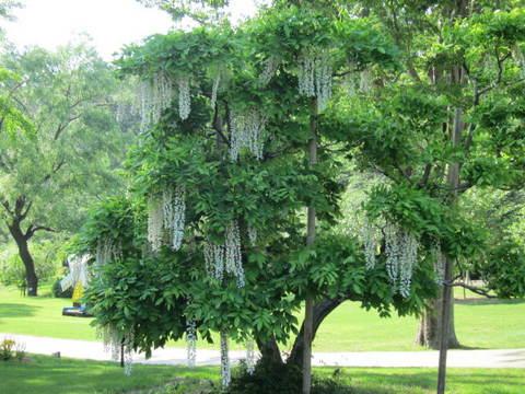 4・白藤の木.JPG