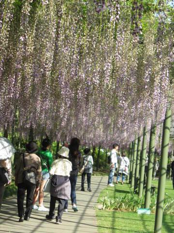 4・紫の藤だな.JPG