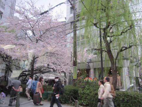 5・高瀬川桜と柳.JPG