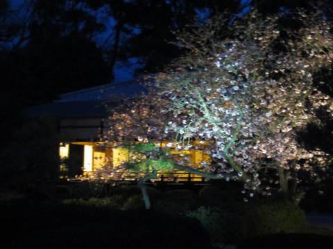 6・二条城夜桜と茶室2.JPG