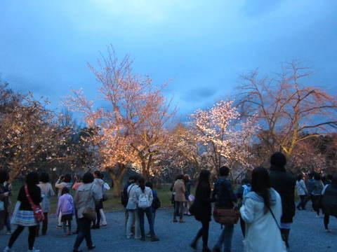 6・二条城夜桜3.JPG