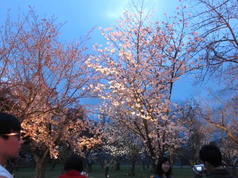 6・二条城夜桜4.JPG