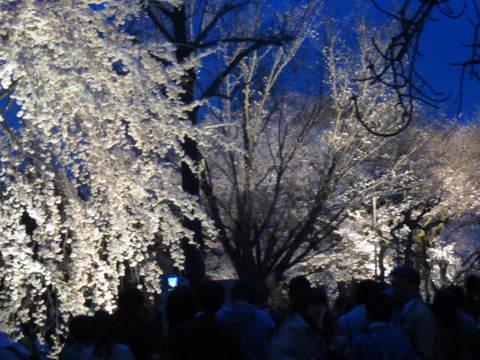 6・二条城夜桜7.JPG