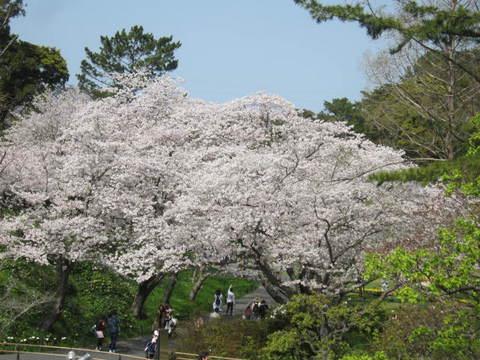 はままつ桜・1.JPG