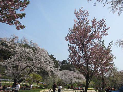 はままつ桜・9.JPG