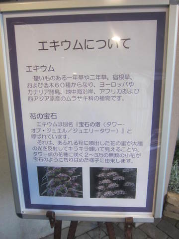 エキウム・1.JPG