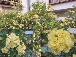 モッコウ薔薇.JPG