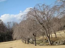 公園・桜.JPG