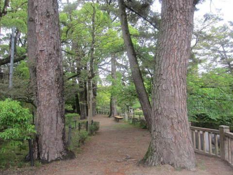 岡崎城・松の木.JPG