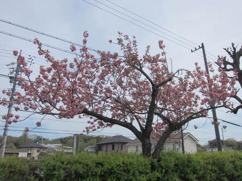 森林公園八重桜.JPG