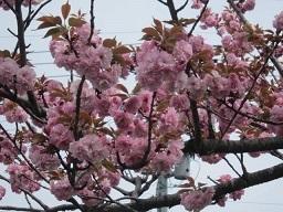 森林公園八重桜・1.JPG
