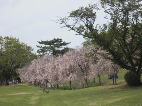 森林公園桜・3.JPG